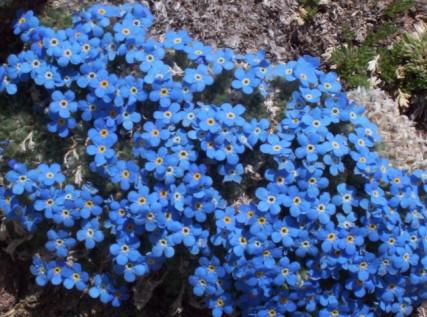Alpine Forget-me-olvides, una flor Tundra.  Cortesía El Delgados.
