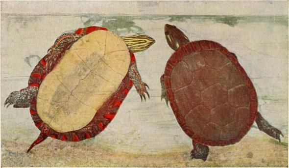 Western Painted Turtle. Internet Archive Book Image, Courtesy Flickr Commons.
